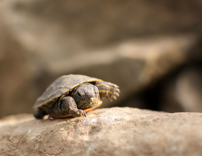 A young turtle rests on some rocks basking in the sun Animal Themes Animal Wildlife Animals In The Wild Close-up Day Fragility Gastropod Nature No People One Animal Outdoors Rock - Object Selective Focus Turtle Wildlife Young Adult Young Turtle