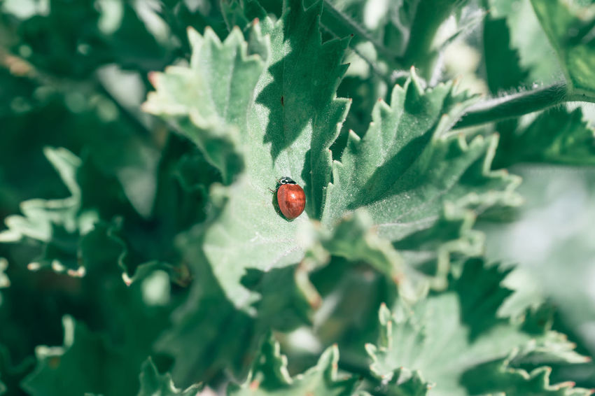 Animal Themes Animals In The Wild Close-up Day Insect Ladybug Leaf Nature One Animal Outdoors Plant Red Tiny