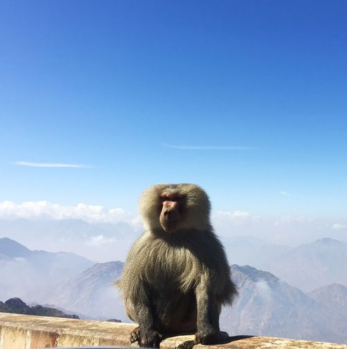 Baboon on wall against mountains