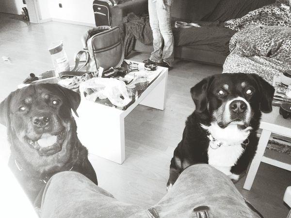 Best Friends ❤ Dogs Of EyeEm Rottweiler Bernersennenhund EyeEm Dog Lover zu Besuch bei Rock yyy Freya Mit Rocky Dogs MonochromePhotography Monochrome Photography Hundefreundschaft Dogs Mydog Black And White Friday