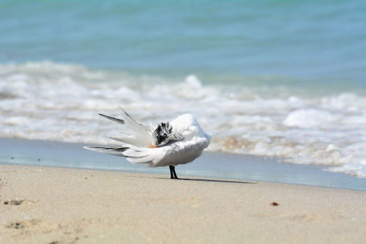 EyeEm Selects Beach Bird No People Nature Water Outdoors Tern Royal Terns Royal Tern Sea Bird Seashore Full Length Animal Themes One Animal Animals In The Wild Animal Wildlife Preening Birds Preening Sea Shoreline