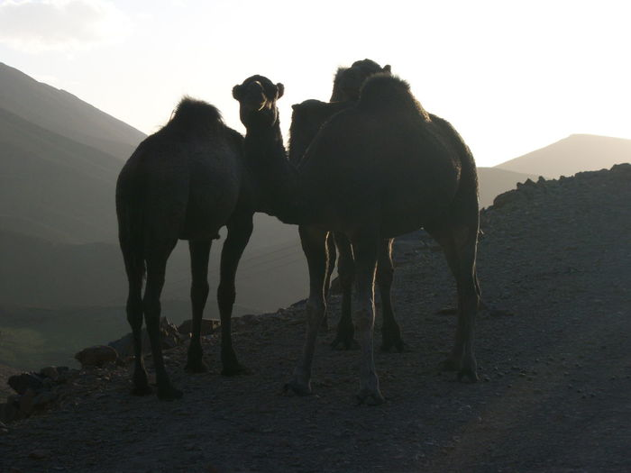 Animal Themes Animals In The Wild Beauty In Nature Camels Clear Sky Day Domestic Animals Field Horse Landscape Livestock Mammal Mountain Nature No People Outdoors Sky Standing Togetherness