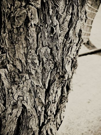 Bikaner Tree Wood Picspv Treescollection