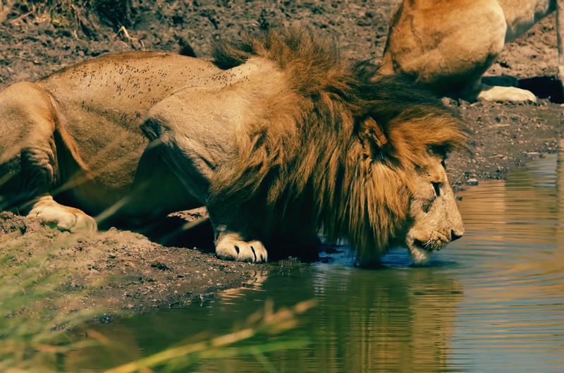 Lion drinking water from lake