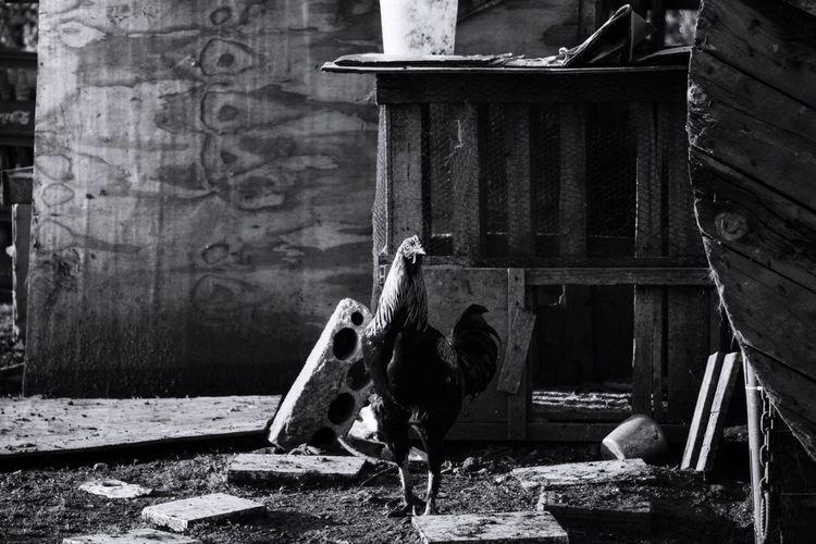 Farm Rooster Lebanon Blackandwhite Wood Taking Photos Showcase March