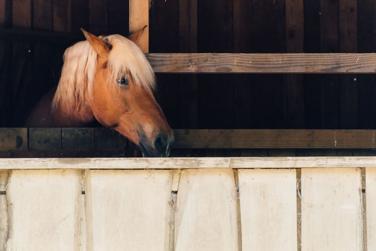 Farm Barn Portrait Looking At Camera Stable Horse Close-up Livestock Animal Body Part Paddock Ranch Herbivorous Pony Hoofed Mammal