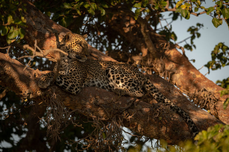 Leopard lies on branch in dappled sunlight Africa Kenya Kicheche Savannah Savanna Safari Nature Travel Animal Mammal Leopard Panthera Pardus Predator Carnivore Big Cat Cat Big Five Tree Animal Wildlife Animal Themes Animals In The Wild Feline One Animal Plant Branch No People Carnivora Vertebrate Spotted Outdoors
