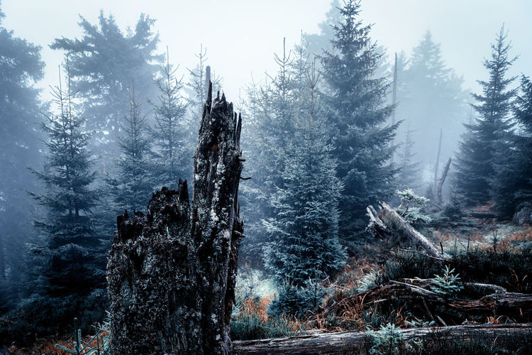Tree Plant Land Winter Tranquil Scene Forest Scenics - Nature Tranquility Cold Temperature Nature Growth Beauty In Nature No People Snow Non-urban Scene Environment Day Sky Outdoors Pine Tree WoodLand Coniferous Tree Snowing Harz Harzmountains