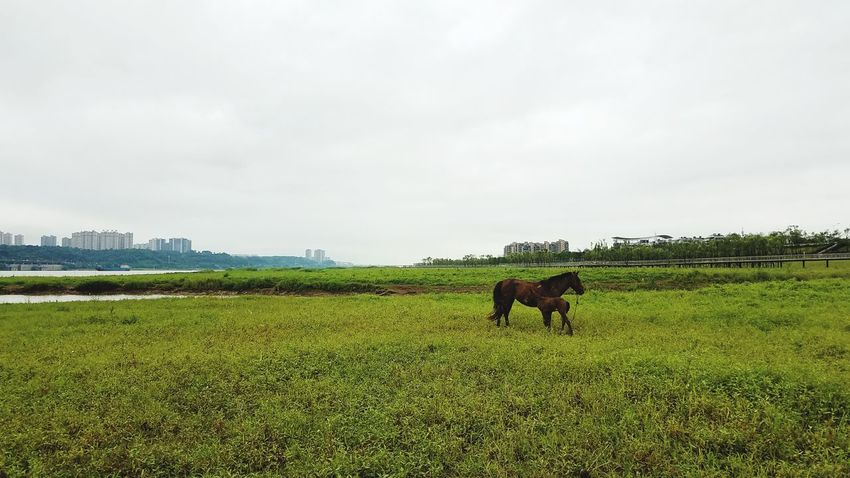 Green Color Field Nature Grass Horses