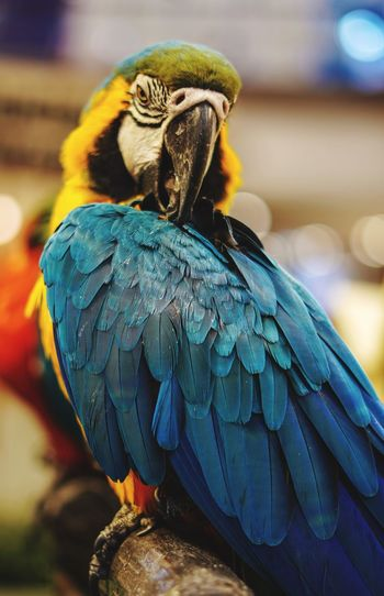 Close-up of a parrot perching on wood