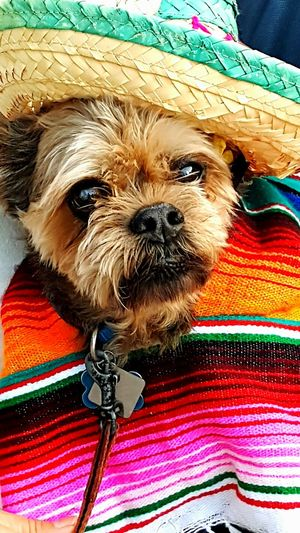 Animal Body Part Animal Eye Animal Hair Animal Head  Animal Themes Cinco De Mayo Close-up Dog Dog Dog With Hat Domestic Animals Focus On Foreground Mammal Mexican Doll No People Pets Portrait Snout
