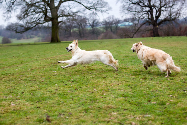 Dogs running on grassy field