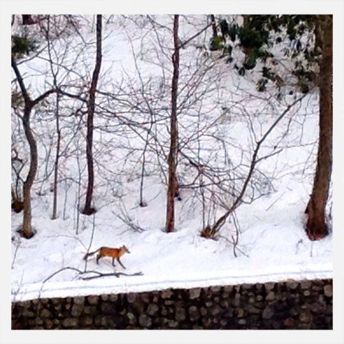 What a fox! FML and I were lucky enough to see this beauty, during our walk, yesterday. Snow ❄ Let's See What We See! Wildlife