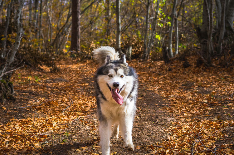 Exploring the small mountain town of Krushevo in Macedonia Animal Themes Autumn Day Dog Domestic Animals Forest Full Length Leaf Mammal Mouth Open Nature No People One Animal Outdoors Panting Pets Portrait Sticking Out Tongue Tree