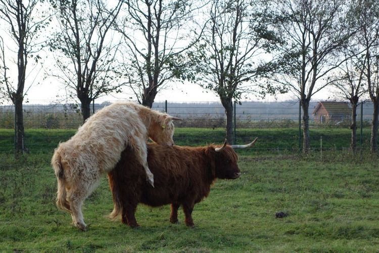 Highland cattle mating on field against trees