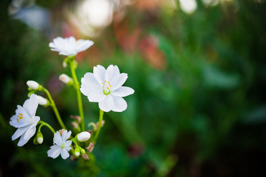 delicate white Beauty In Nature Close-up Day Flower Flower Head Flowering Plant Focus On Foreground Fragility Freshness Growth Inflorescence Nature No People Outdoors Park Petal Plant Pollen Selective Focus Vulnerability  White Color