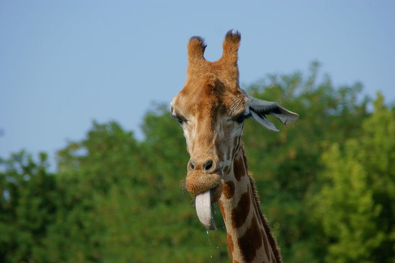 Close-up of a giraffe against the sky