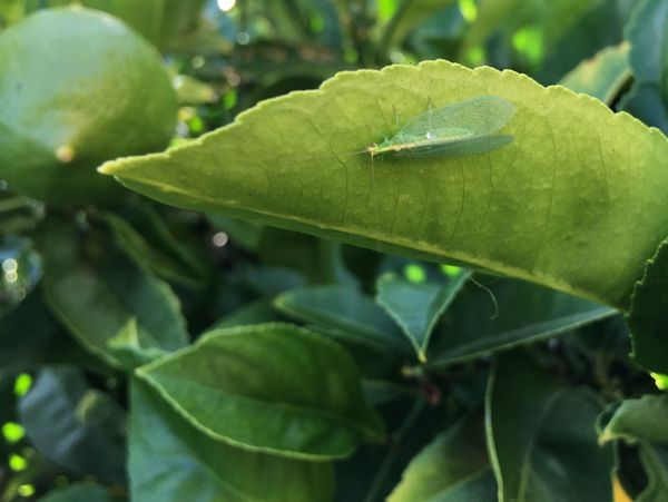 Citrus Meyer Lemon Lacewing Butterf Beneficial Beneficial Insect Good Bugs Insect Predator