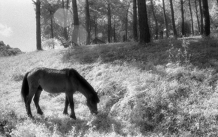 Adventure Alone Animal Themes Black And White Domestic Animals Field Forest Grass Hie Horse Infrared Infrared Photography Landscape Livestock Mammal One Animal Outdoors Tree Tree Trunk Winter