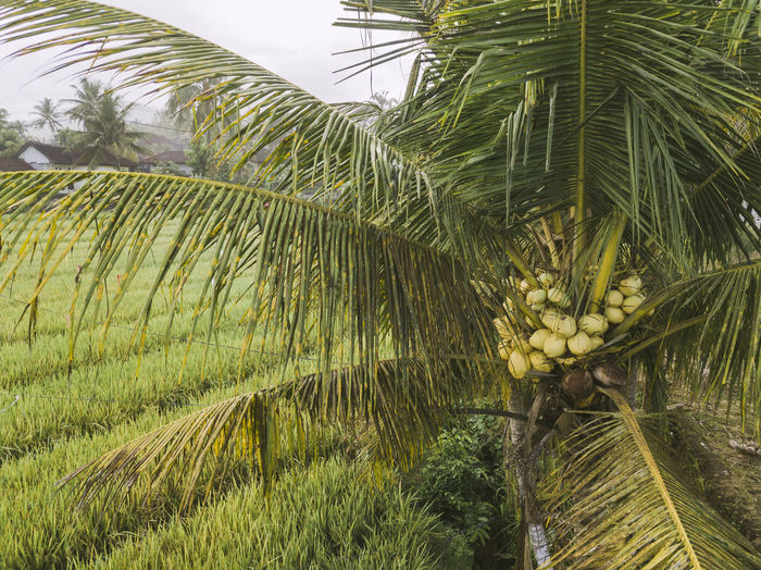 Palm trees growing in farm