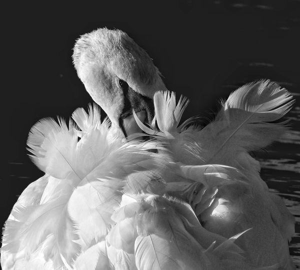 """""""Exquisite"""" Beauty In Nature Black Background Cleaning Close-up Nature No People Outdoors Swan, Classic Feathers, Simplicity,white,ruffled"""