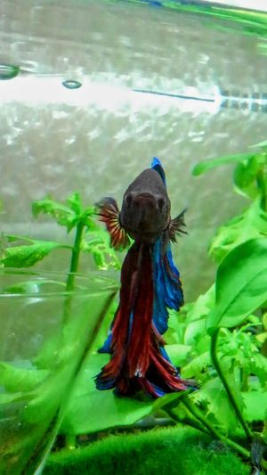 my lovely bettafish Betta  Betta Splendens Bettafish Bettafishcommunity No People Day Nature Outdoors Animal Themes Peacock One Animal Green Color Water Plant Beauty In Nature
