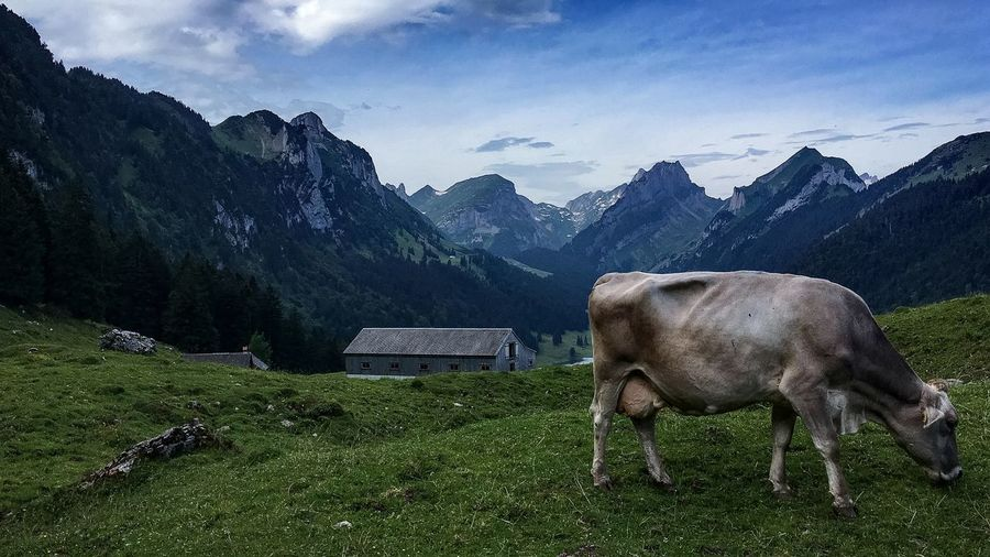 Side View Of Cow Grazing On Mountain Against Sky