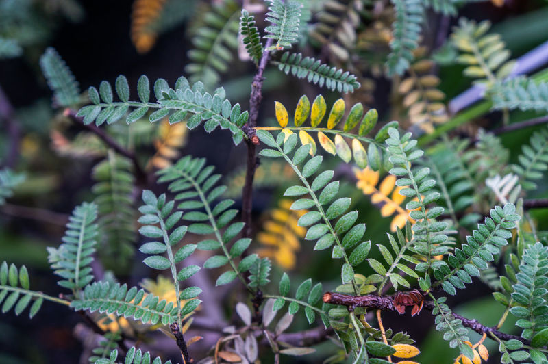 Green and yellow pinnate leaf ground shrub backdrop. shot in macro in natural daylight