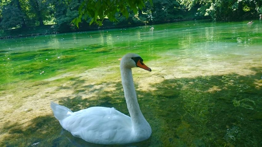Lake Lake View Green Nature Relaxing Popular PhotosMuteSwan Nature Photography Travel Photography