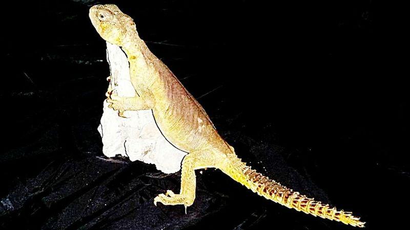 Reptile Lizard Spiny Tailed Lizard Dab Lizard Uromastyx