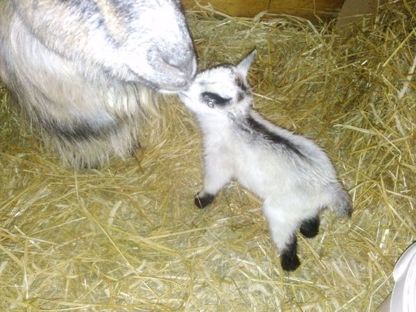 this is a baby goat .his name is Herbert and is only 2 hour old