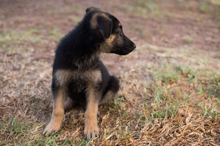 On Guard Alsatian Animal Animal Themes Canine Dog Domestic Animals German Shepherd Grass Mammal One Animal Pets Pup Puppy
