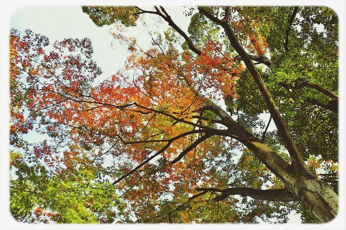 紅葉のはじまり 氷川神社 紅葉