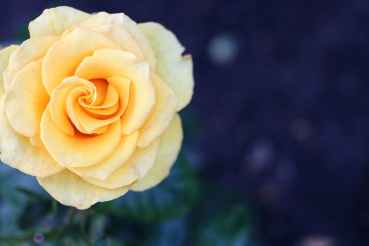 Flower Flower Collection Yellow Yellow Flower Roses Rose🌹 Nofilter Noedit Narure EyeEm Nature Lover