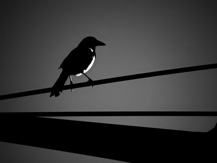 Animal Animal Themes Animal Wildlife Animals In The Wild Bird Cable Clear Sky Crow Day Full Length Low Angle View Nature No People One Animal Outdoors Perching Raven - Bird Silhouette Sky Vertebrate