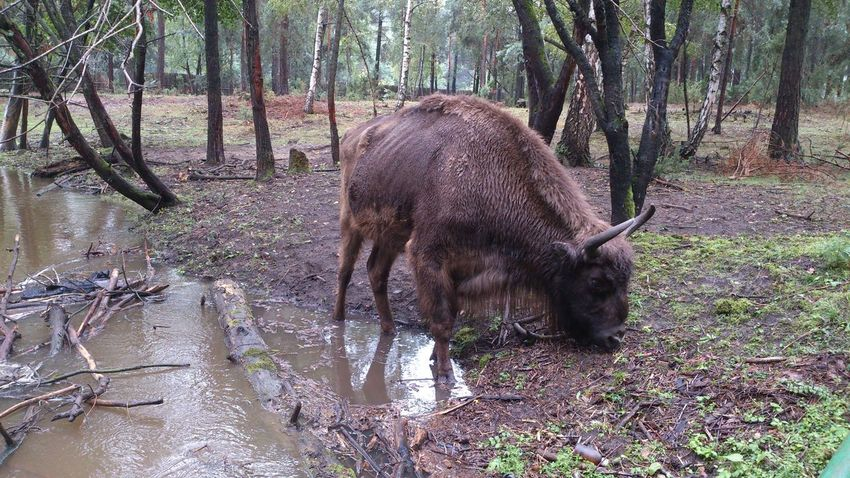 Eating Podlasie Polska Animal Themes Animal Wildlife Animals In The Wild Aurochs Big Animal Day Domestic Animals Mammal Nature No People One Animal Outdoors Podlasie Rare View Tree Tree Trunk Water