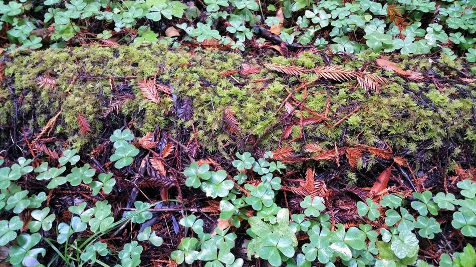 Autumn colors. Clover, rusty pine needles & mossy green. Layers. Clover Moss Lichen Rust Green Layered Copy Space Nature Lines Pattern Interwoven Wet Rural Forest Ground Cover Cover Ground Log Earth Design Natural Backgrounds Leaf Full Frame Close-up Plant Plant Life Plant Life