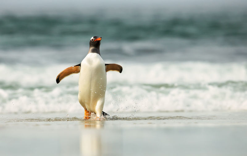 Penguin walking at beach