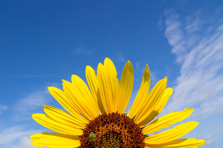 Beauty In Nature Blooming Blue Close-up Cloud - Sky Day Flower Flower Head Focus On Foreground Fragility Freshness Growth In Bloom Low Angle View Nature No People Outdoors Petal Plant Pollen Sky Sunflower Sunflower, Yelow, Green Fly, Green Bug, Blue Sky, White Clouds, Summer, Middle Of The Day Tranquility Yellow