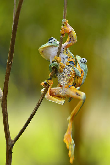 Amphibian Animal Animal Eye Animal Themes Animal Wildlife Animals In The Wild Branch Close-up Day Focus On Foreground Frog Full Length Green Color Nature No People One Animal Outdoors Plant Reptile Tree Vertebrate