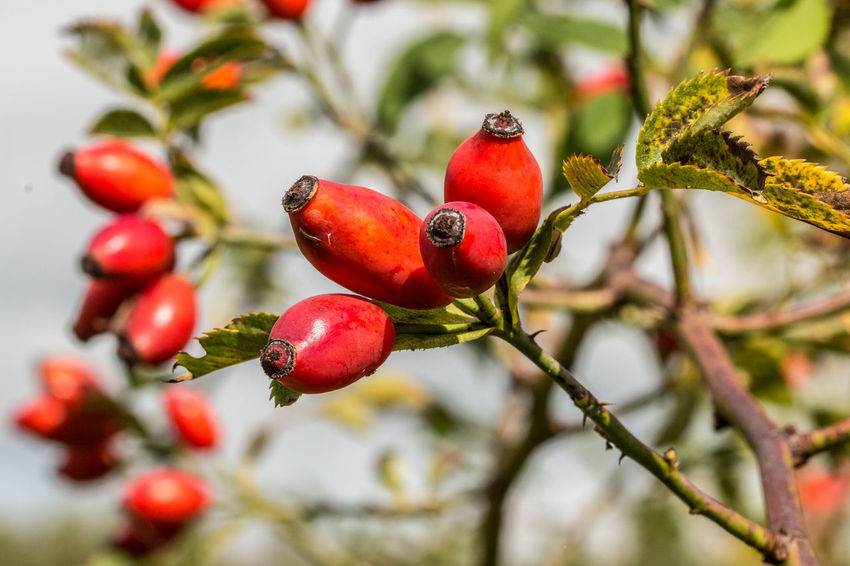 Red rose hips on the green field of the park Rose Hip Beauty In Nature Branch Close-up Day Focus On Foreground Food Food And Drink Freshness Fruit Growth Healthy Eating Nature No People Outdoors Red Rose Hip Rose Hips Rowanberry Tree