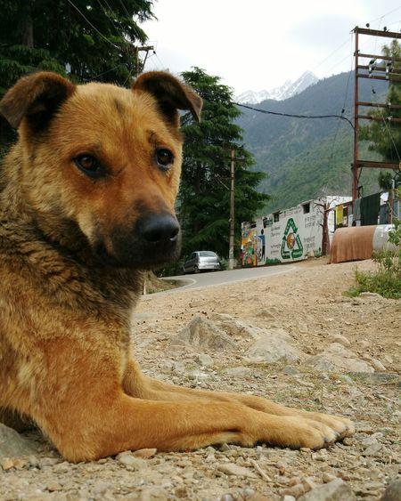 Street Dog Dog McLeod Gunj Mcleodganj Dharamshala Mountains Himalayas Himachalpradesh India