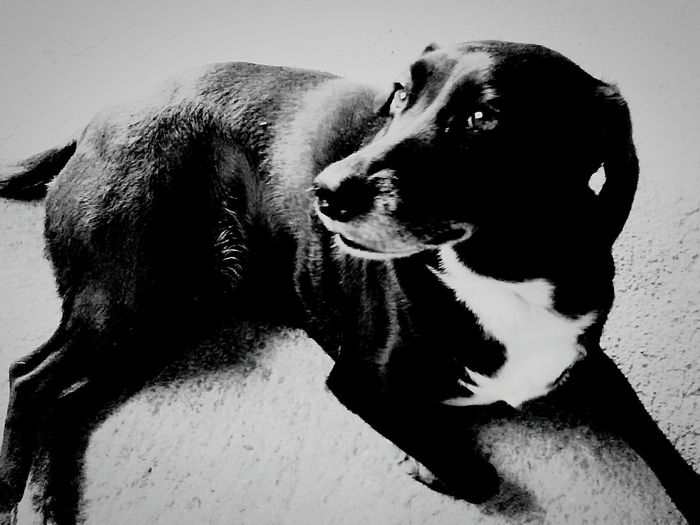 Pets Dog One Animal Animal Themes Domestic Animals Mammal Close-up No People Outdoors Day Lica Cachorra Bıtch Cadela Black BlackDog Liying Down Liying Animals Deitada Pose EyeEmNewHere
