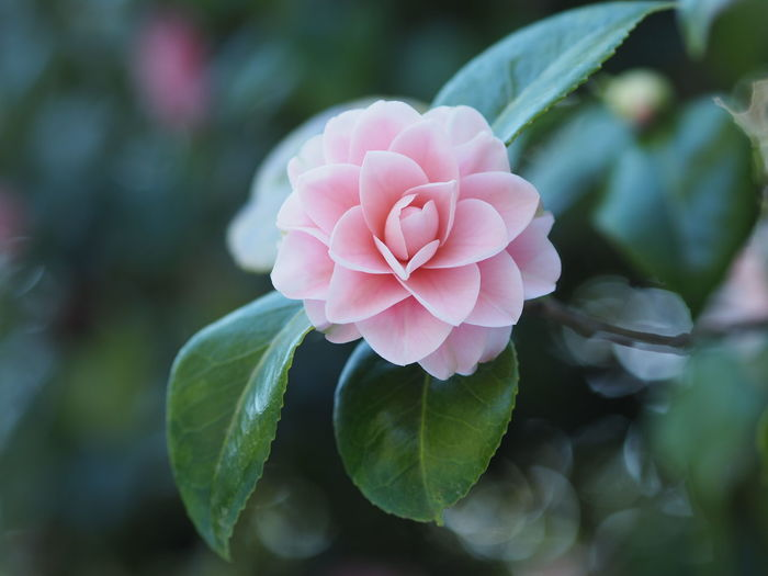 Flower Head Flower Pink Color Leaf Petal Peony  Close-up Plant