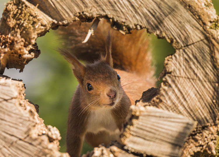 The best squirrel Squirrel Squirrel Closeup Squirrels Animal Wildlife Animallovers Animal Themes Animals In The Wild Nature Focus On Foreground Animal Close-up Outdoors One Animal No People Selective Focus Wildlife