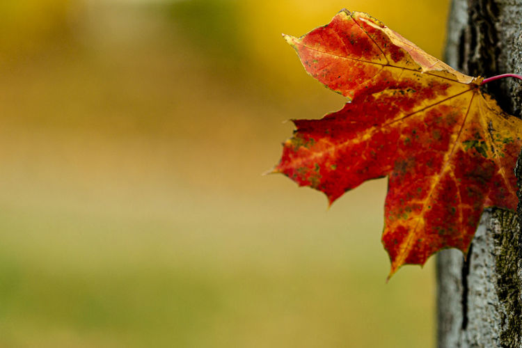 Close-up of red maple leaf against blurred background