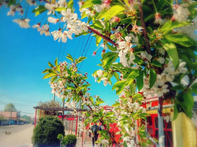 Tree Sky Nature No People Outdoors Clear Sky Branch Beauty In Nature Close-up Sourcherry Flowers Sour Cherry Blossomed Branch Showcase: April Ionita Veronica @WOLFZUACHiV Eyeem Market Veronica Ionita Showcase: 2017 Wolfzuachis Huaweiphotography Wolfzuachiv On Market Edited By @wolfzuachis Styled Photo Colorful The Street Photographer - 2017 EyeEm Awards Neon Life