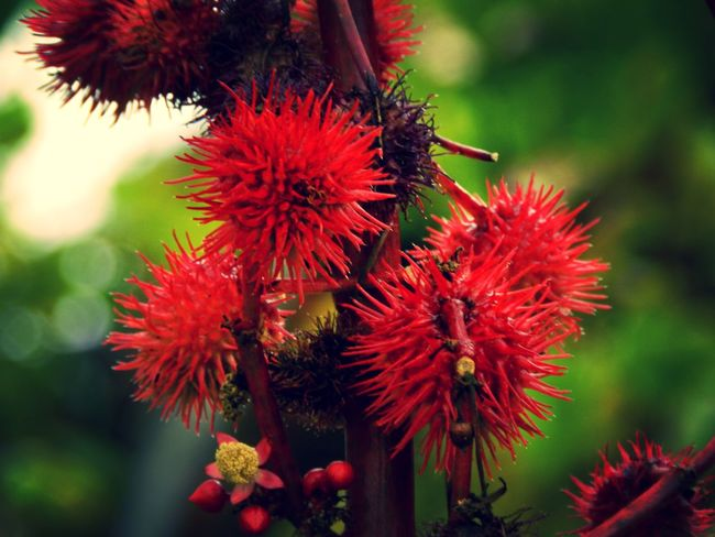 EyeEmNewHere Macro Photography Macros Nature Photography Beauty In Nature Blooming Close-up Flower Flower Head Garden Photography Macro Nature Nature Garden Outdoors Petal Plant Red Ricinus