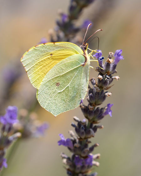 Flower Perching Leaf Butterfly - Insect Insect Social Issues Uncultivated Flower Head Macro Close-up Flowering Plant Botanical Garden Lavender Colored Lilac Animal Wing Magnification Animal Behavior