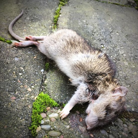 Dead Rat One Animal Animal Themes Animals In The Wild Mammal High Angle View Outdoors Animal Wildlife first eyeem photo